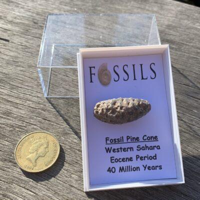 Fossil Pine Cone